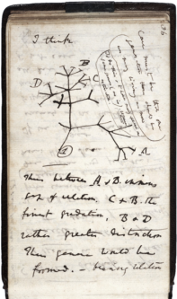Charles Darwin's 1837 sketch, his first diagram of an evolutionary tree from his First Notebook on Transmutation of Species (1837).