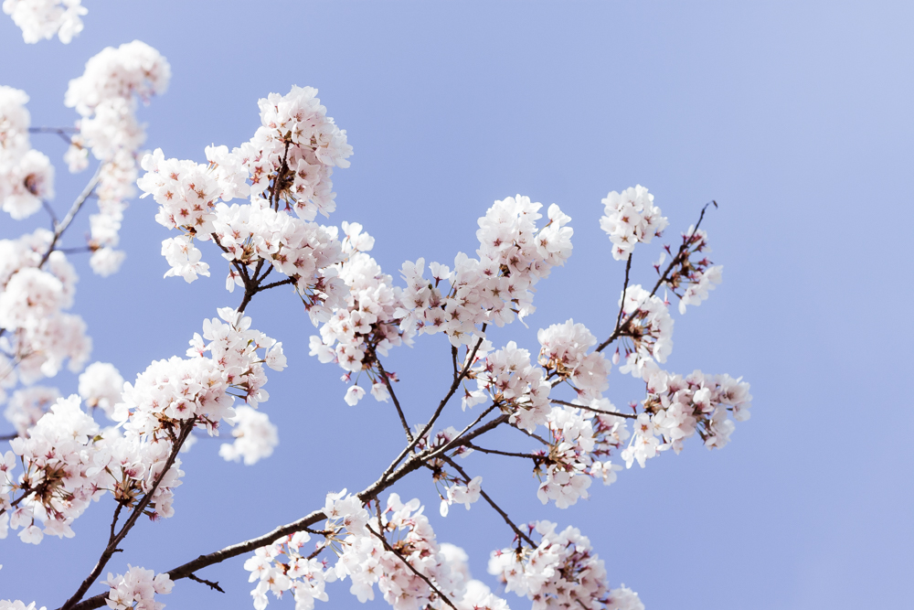 Blossom tree and blue sky